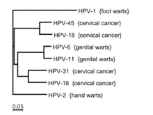 human papillomavirus (hpv) classification
