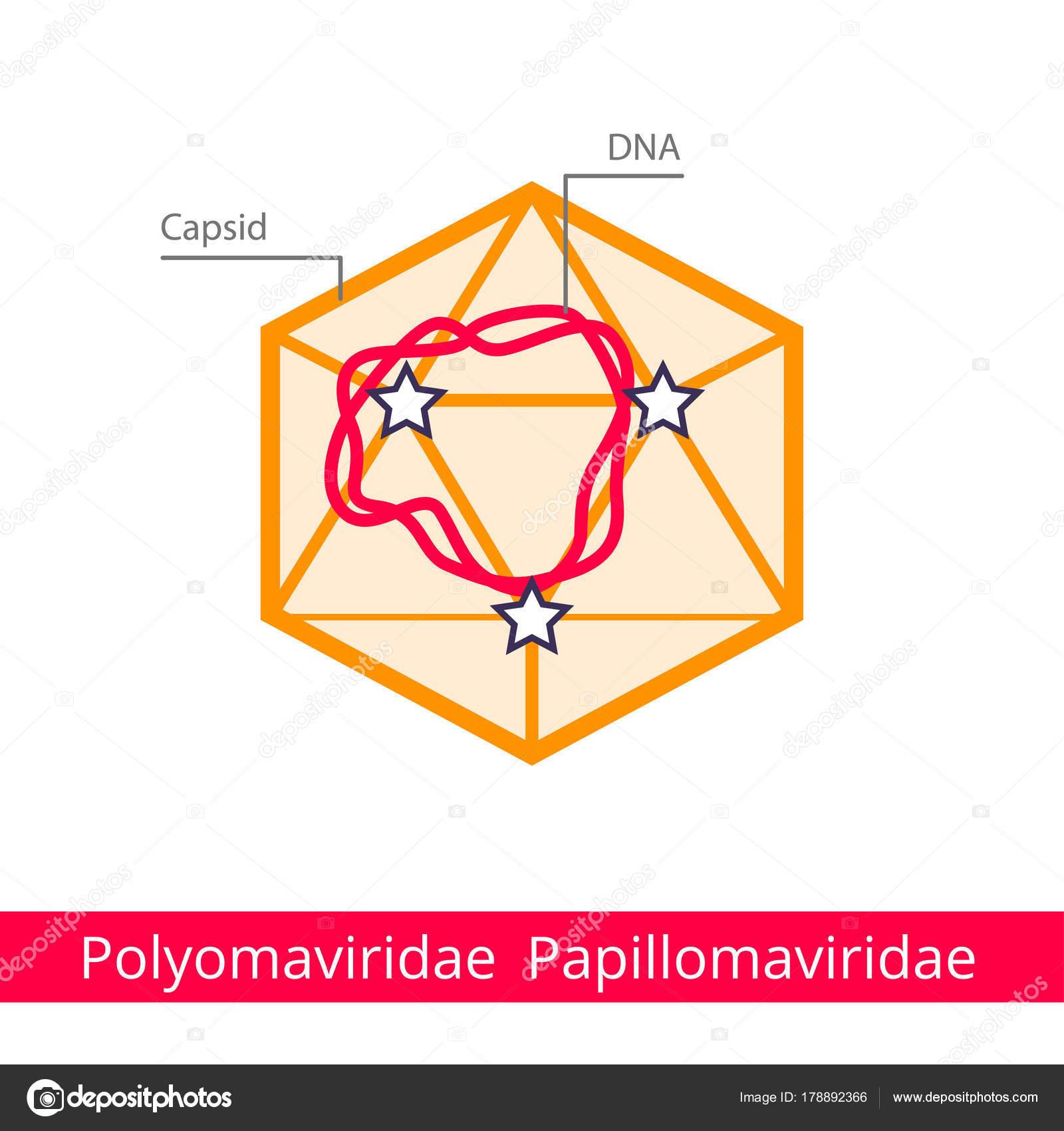 polyomaviridae papillomaviridae)