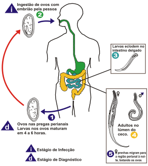 enterobius vermicularis forma de transmissao