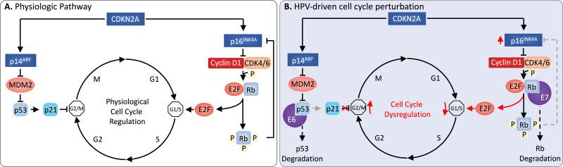 human papillomavirus infection mechanism of action papilloma ear canal