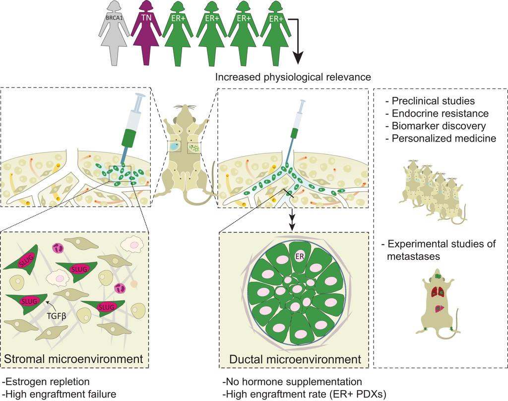 hormone receptors in breast cancer