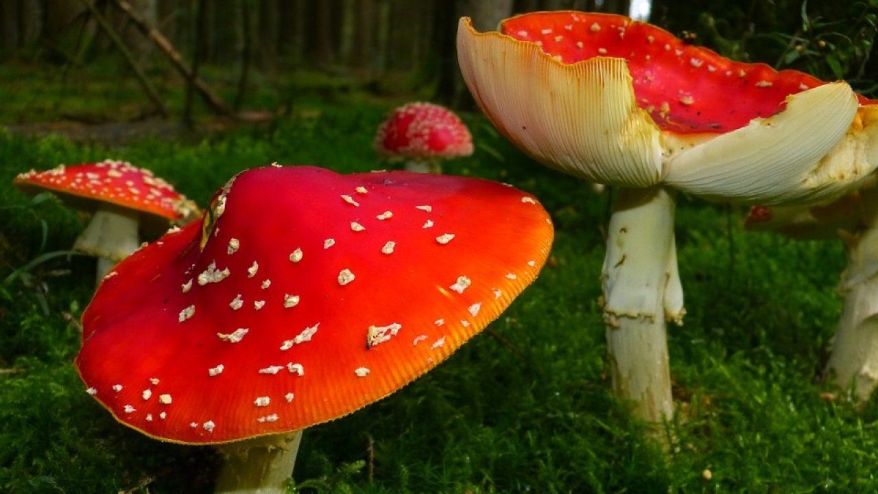 3 ciuperci otravitoare)