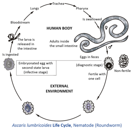 parasitic helminth larvae)