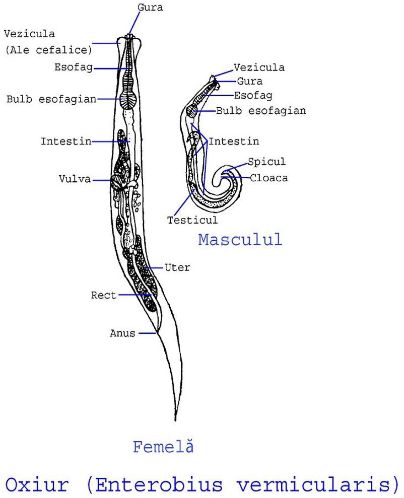 oxiurus vermicularis tratamiento