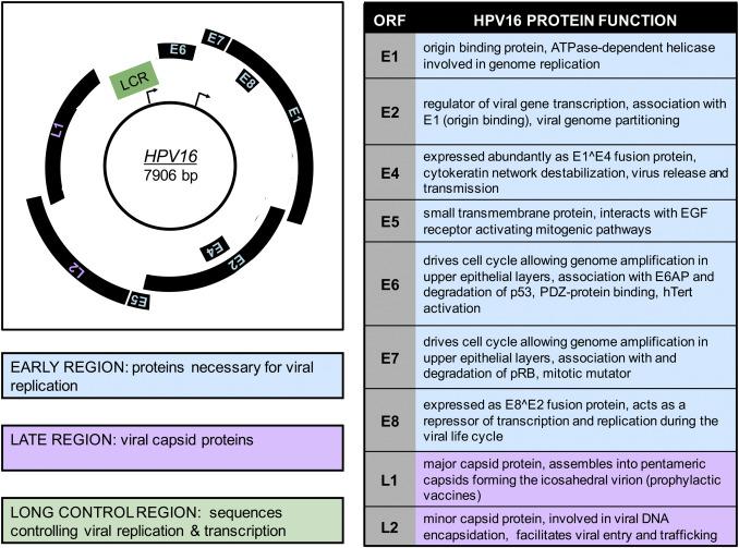 human papillomavirus genome size)