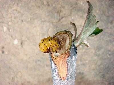 vierme tulpina mar