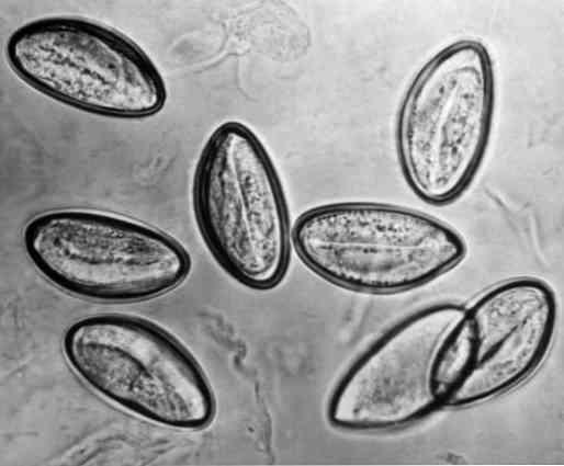 enterobius vermicularis contagio)