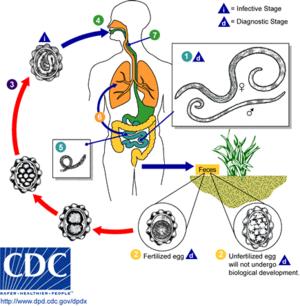 papilloma warts maladie vaccin papillomavirus