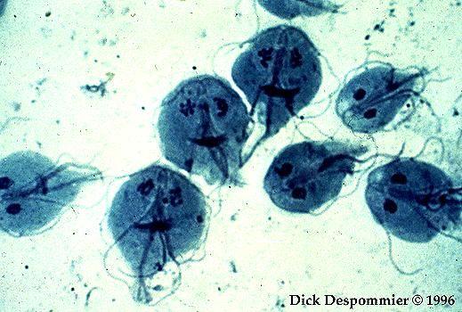 paraziti giardia lamblia)