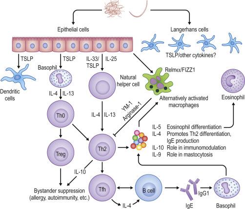 helminth immune response schistosomiasis katayama fever