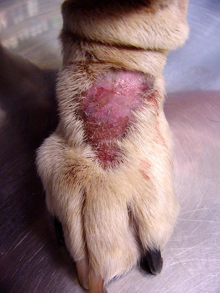 dermatite zampa cane)