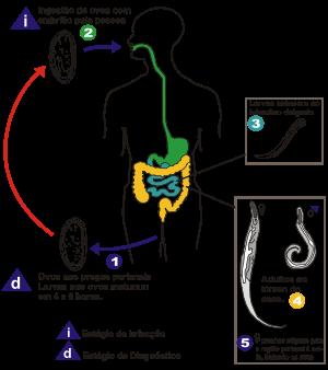 Enterobius vermicularis (oxiurii)