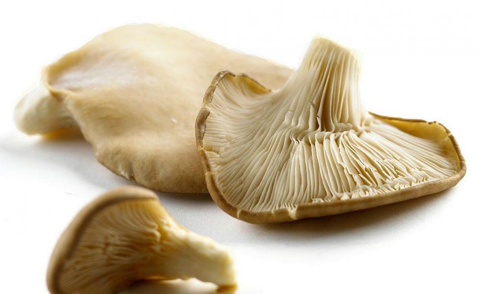 ciuperci oyster