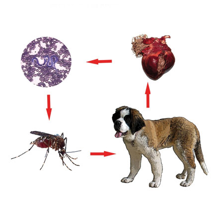 simptome ale bolilor de inima