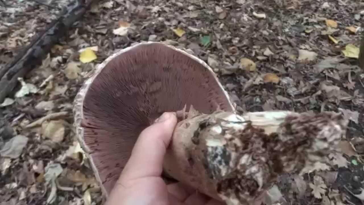 ciuperci otravitoare exemple)