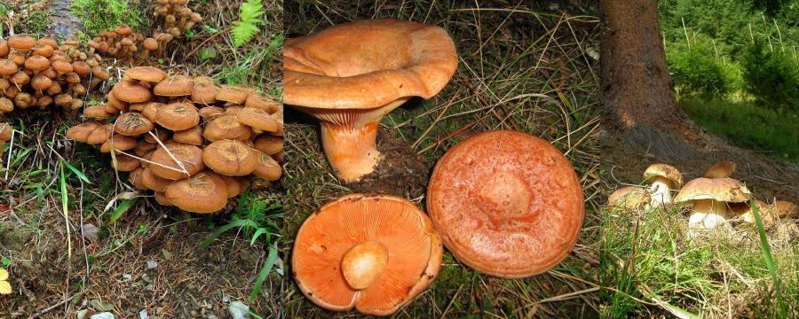 ciuperci hribi de vanzare)