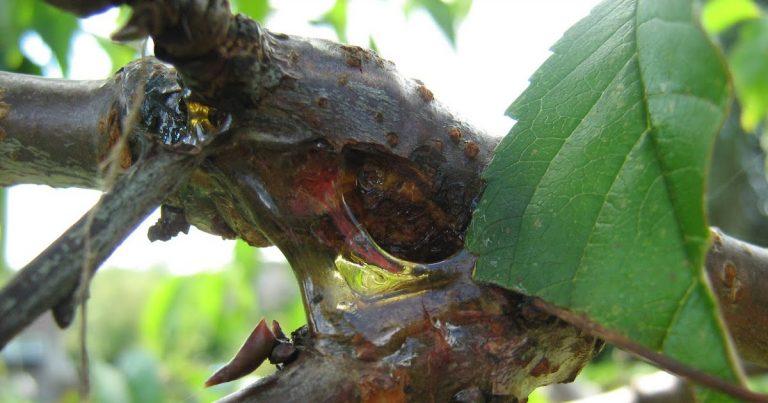 cancerul bacterian la pomi
