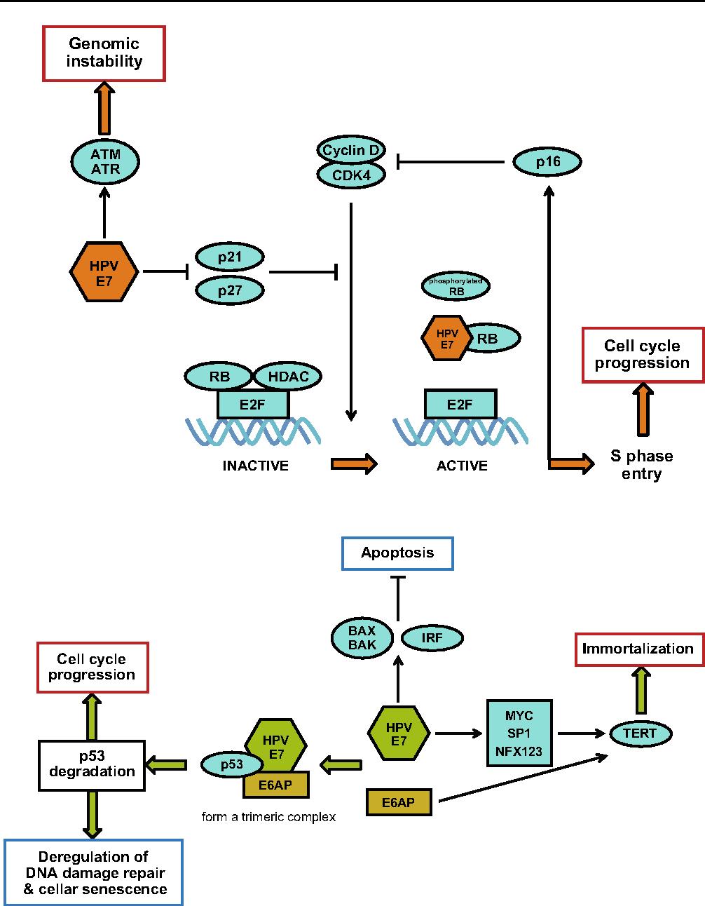 human papillomavirus carcinogenesis)