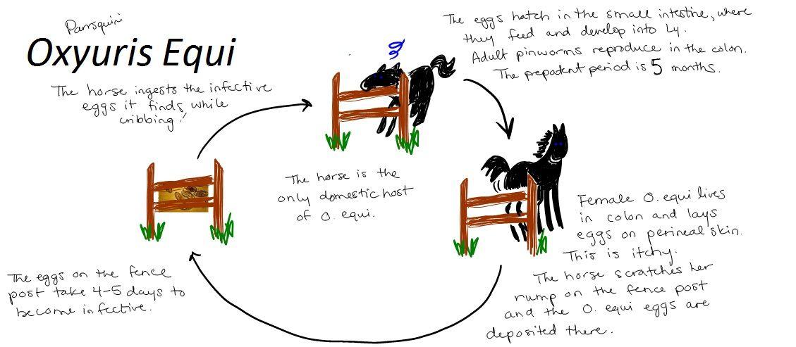 ciclo de vida de oxyuris equi