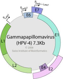 papilloma virus genome)