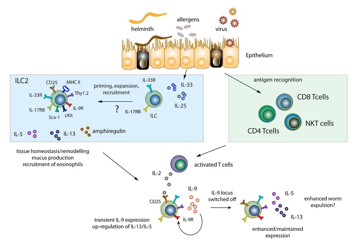 helminths innate immune response)