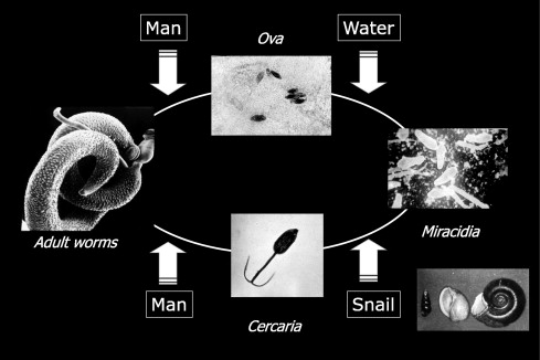 schistosomiasis a review)