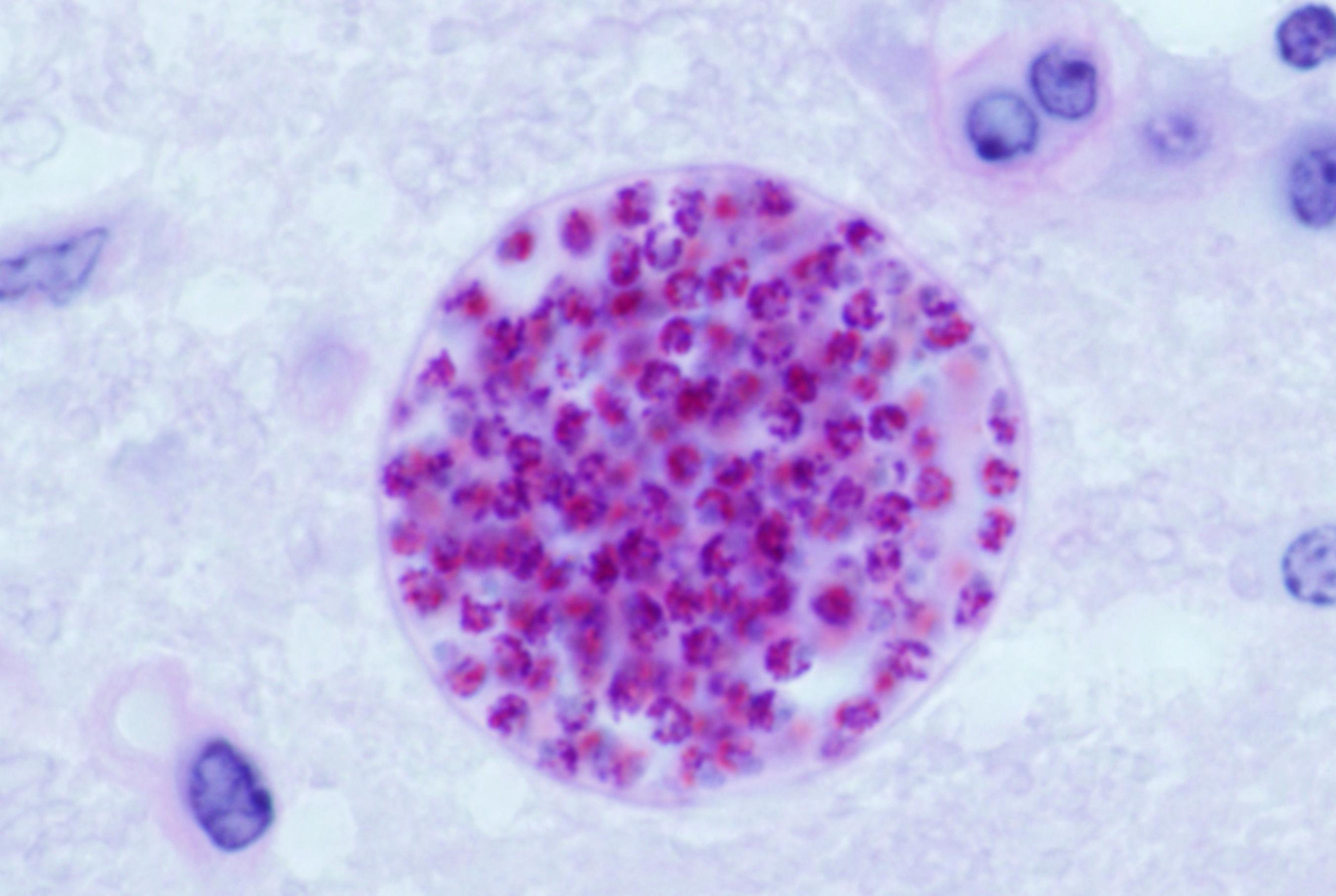 kedilerde giardia paraziti