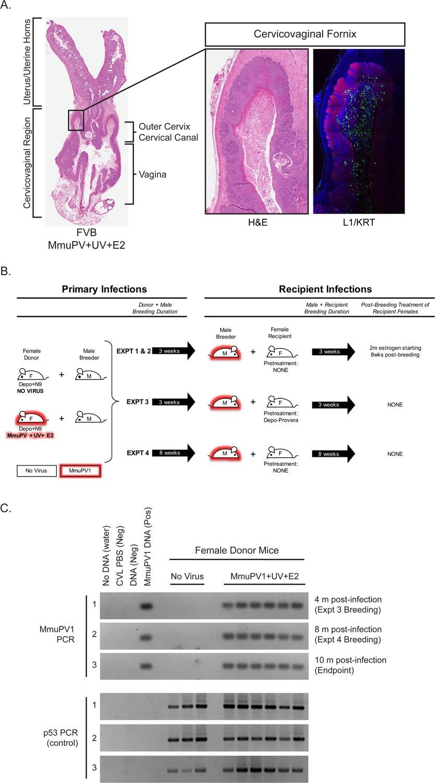 papilom glandular prepuţial - Traducere în engleză - exemple în română | Reverso Context