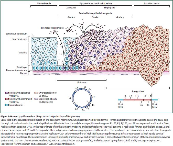 human papillomavirus infection timeline