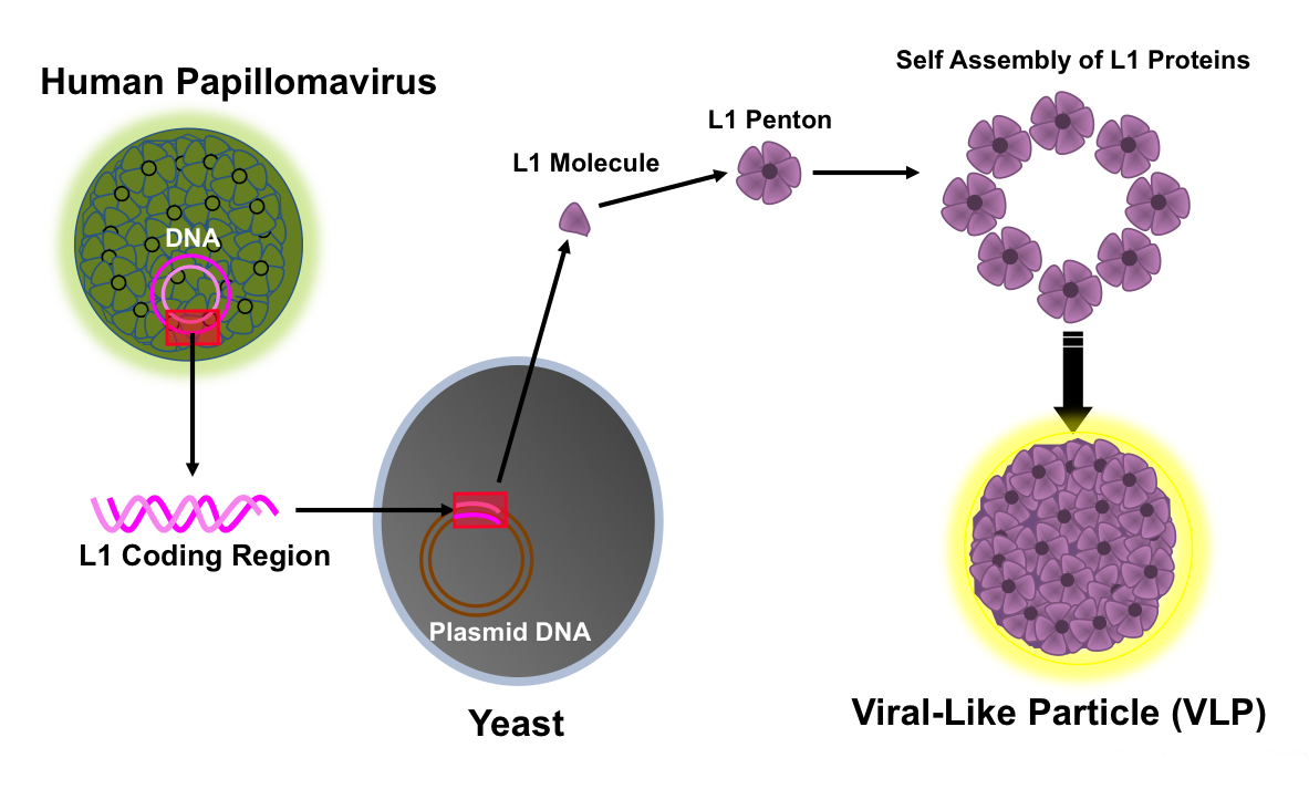 human papillomavirus infection virale
