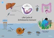 schistosomiasis features)
