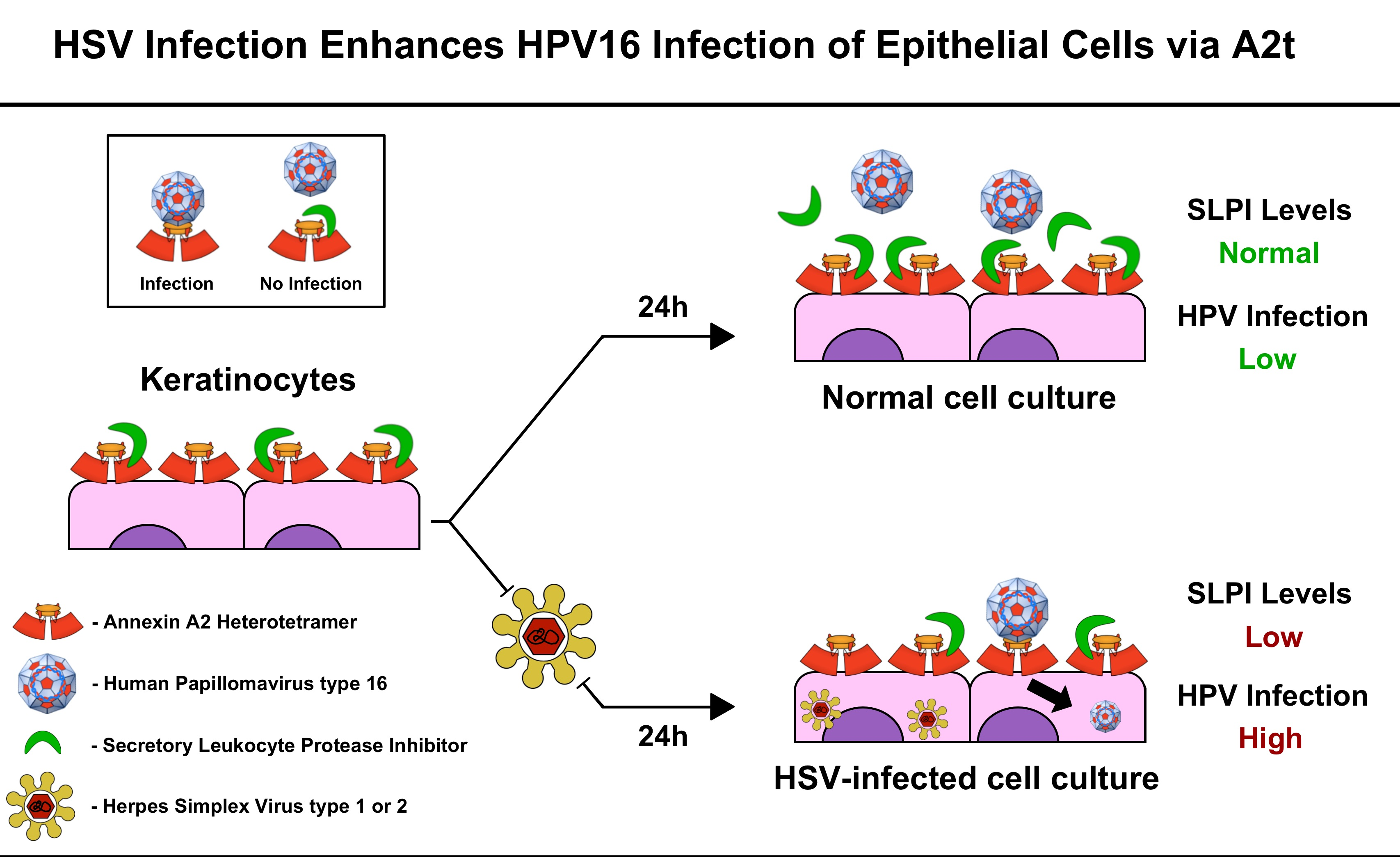 hpv and herpes simplex