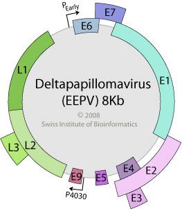 papillomaviridae genome