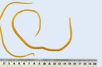 verme oxiurus transmissao paraziti kod zivotinja