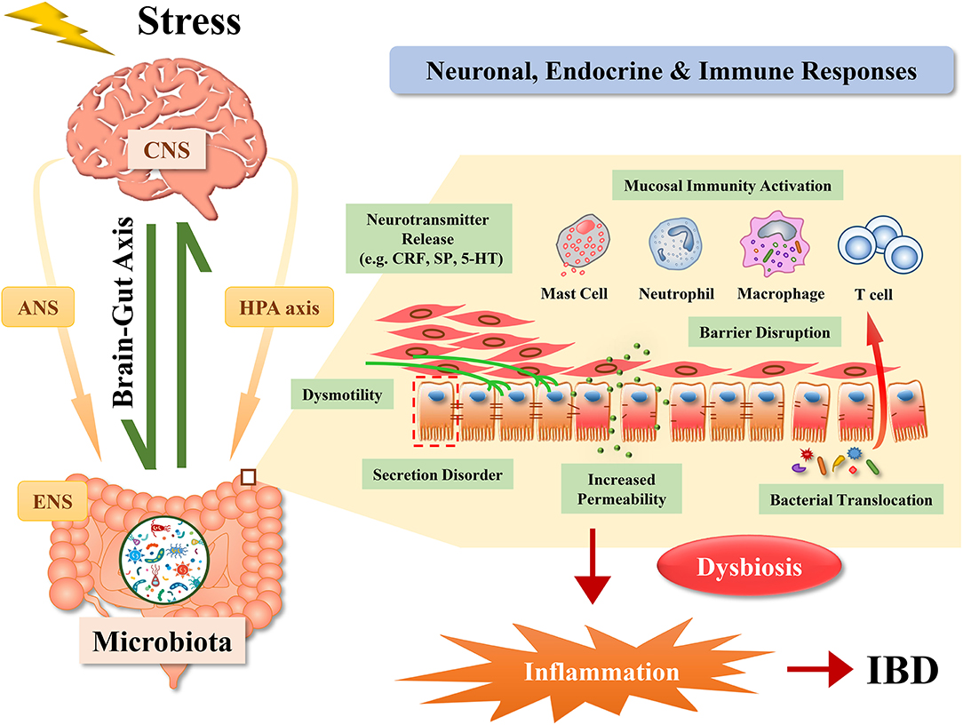 dysbiosis stress