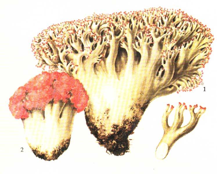 ciuperci roscove)