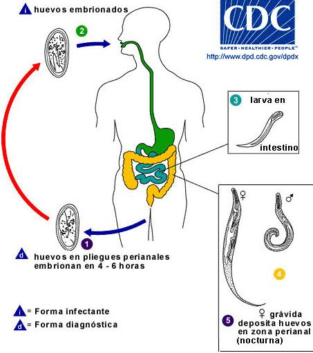 enterobius vermicularis cdc life cycle)