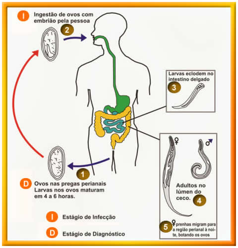 enterobius vermicularis forma de transmissao)
