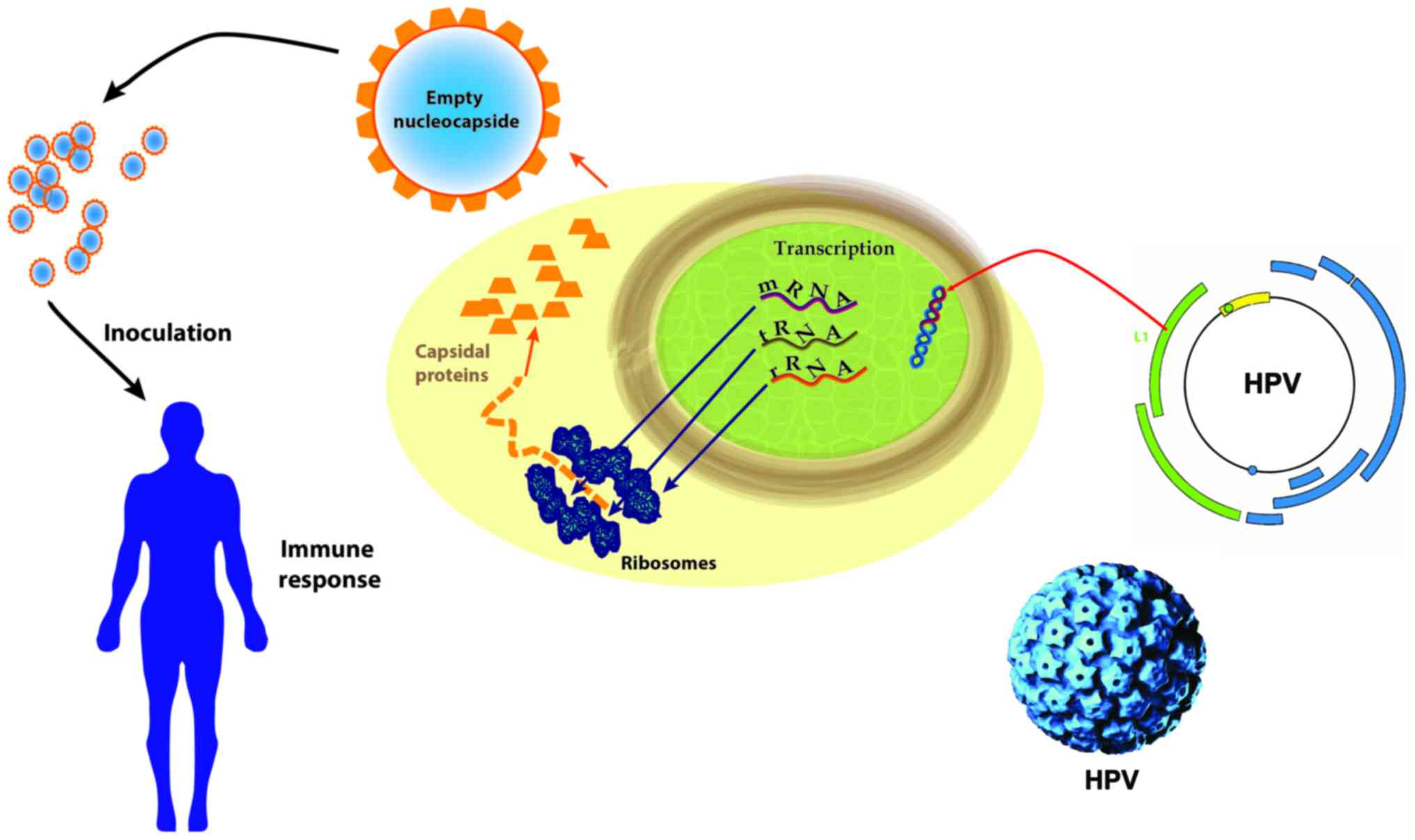 hpv human cell line
