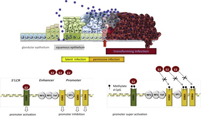 hpv tumor suppressor genes)