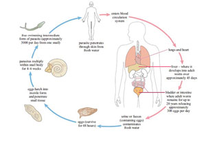 is schistosomiasis a communicable disease
