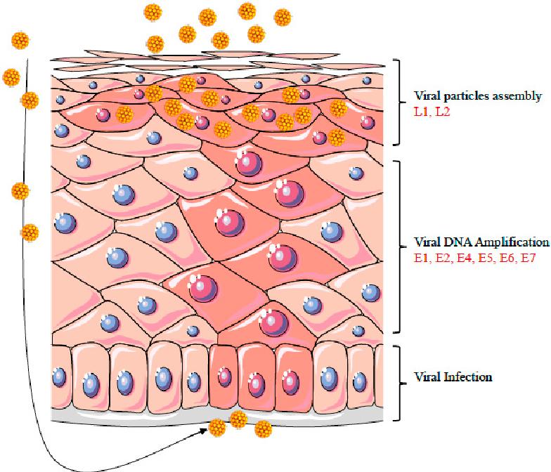 life cycle of the hpv virus human papillomavirus warts on face