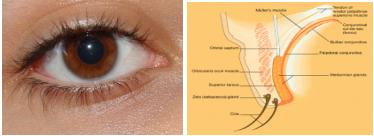 papilloma occhio cause)