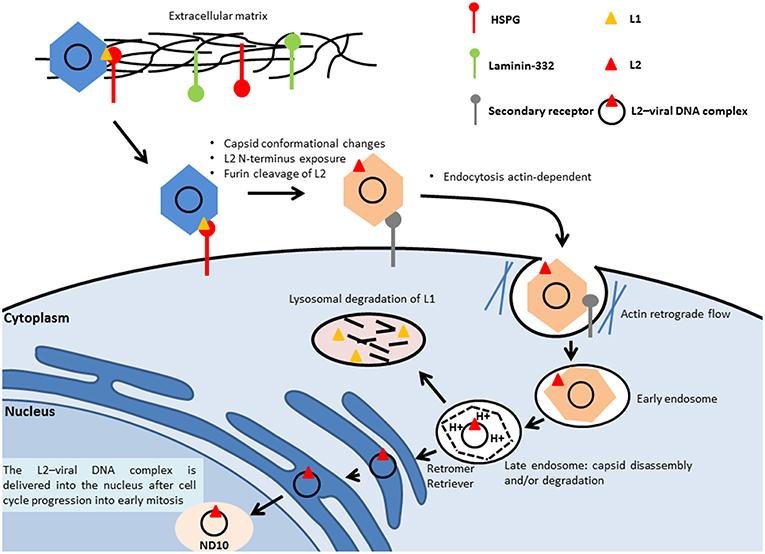 papillomavirus genome replication