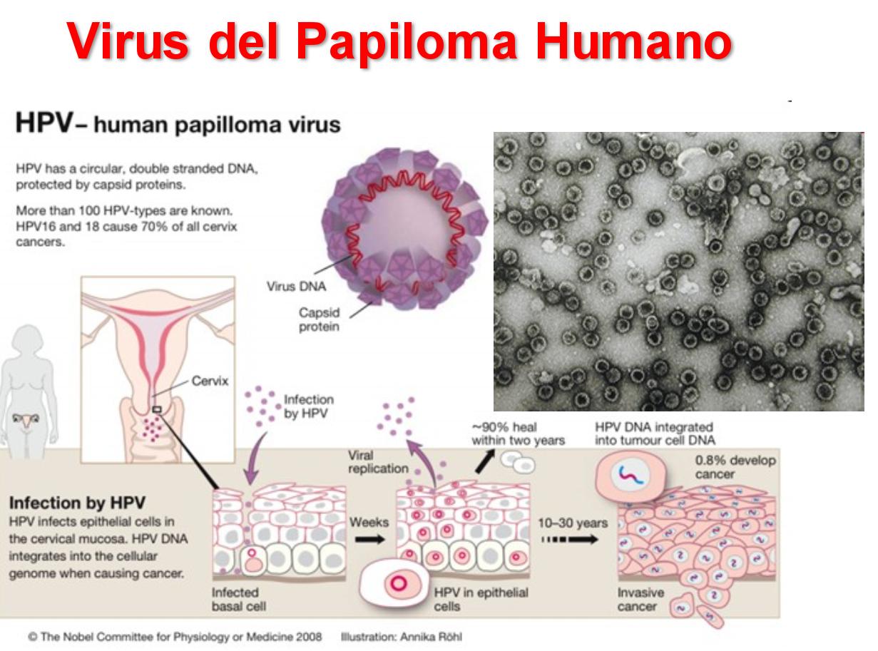 papiloma virus humano microbiologia