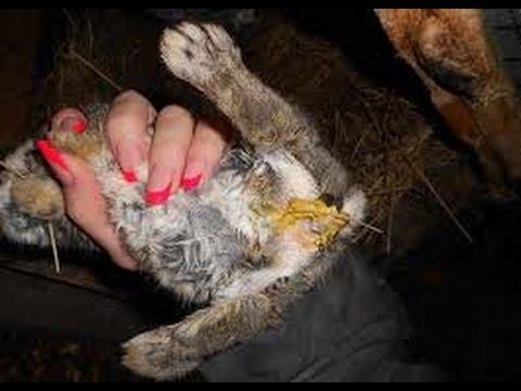 paraziti intestinali la iepuri)