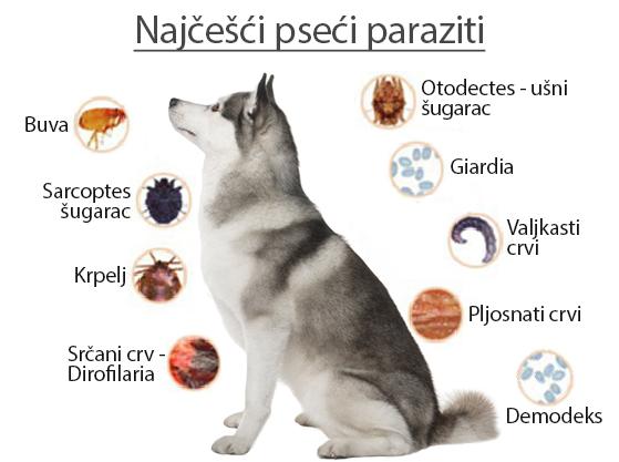 paraziti u stolici kod pasa