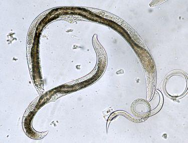 Baby oxiuri Giardia parazita kutya