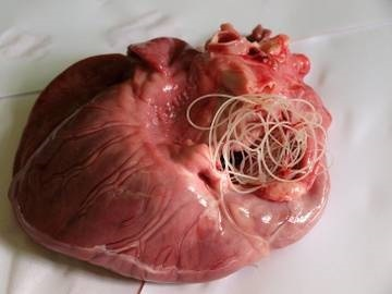 MediVet Buftea - Dirofilarioza (Viermii Cardiaci)