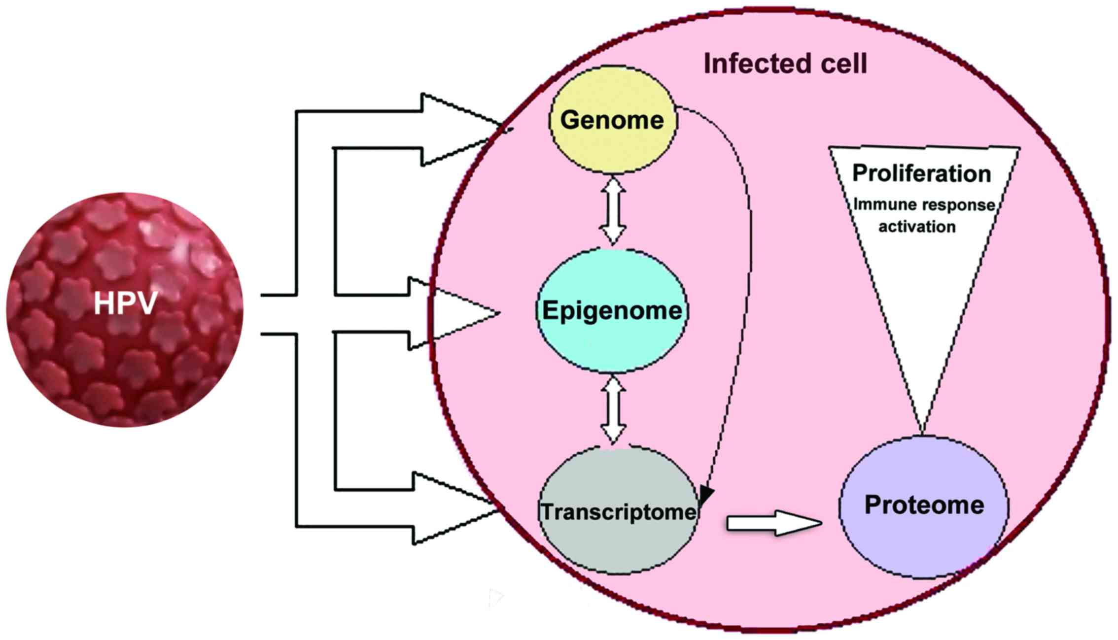 papillomavirus oncogene transmission)
